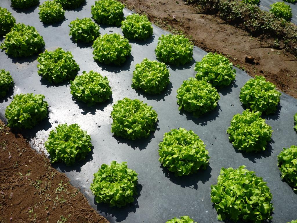 Мульчирование пленкой лекарственные травы