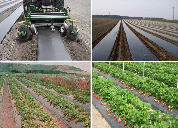 Применение пленки для мульчирования плантации земляники